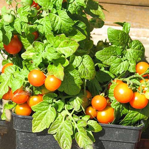 Томат Балконное чудо оранжевое