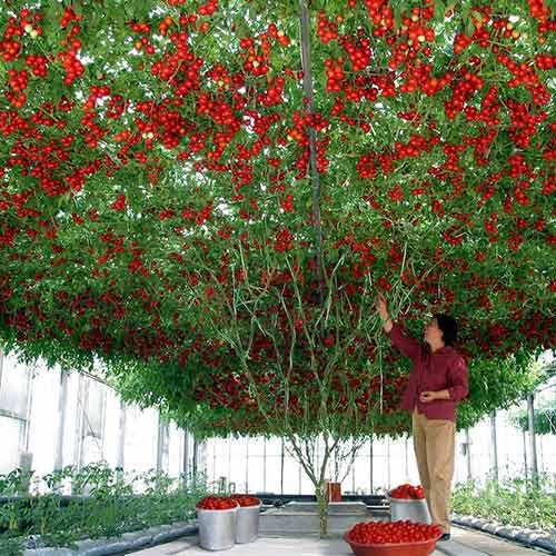 Томат Чудо дерево F1