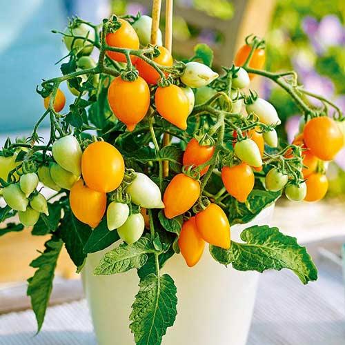 Томат Непас 4 (Непасынкующийся оранжевый сердцевидный)