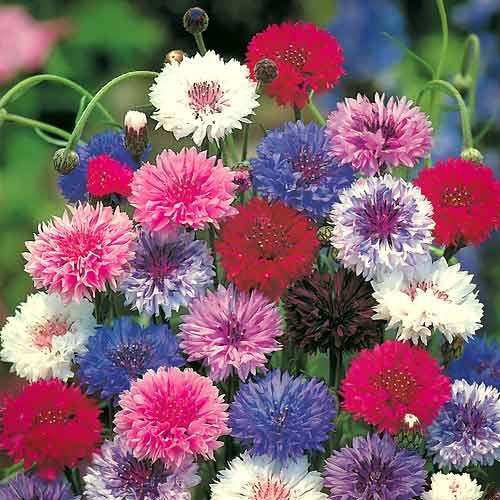 Василек махровый Разноцветные шары, смесь окрасок