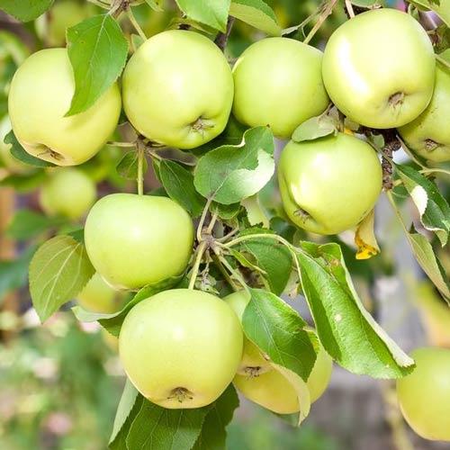 Яблоня Башкирский изумруд